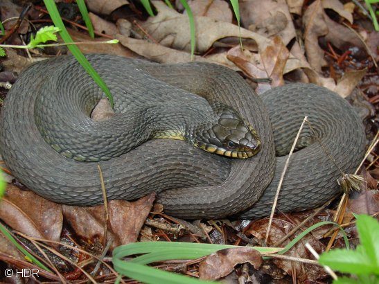Assorted Water Snakes - Poisonous snakes in mississippi