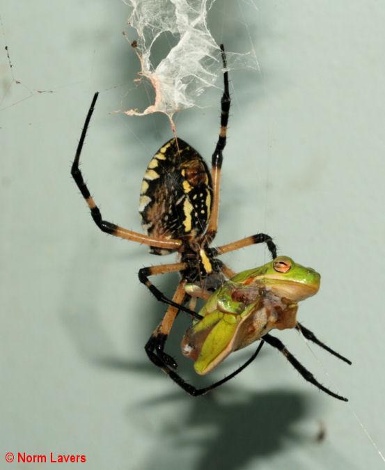 Argiope aurantia for Yellow garden spider poisonous